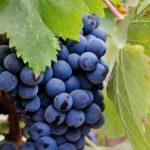 【ナゼそこに?】イタリア・カッラーラに住む大木和子さんが造るワイン